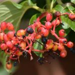 ripening fruit cluster