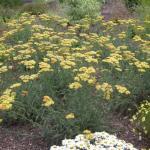 Common Yarrow Plant