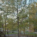 Betula nigra form