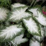 Caladium Plant Habit Growth
