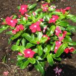 Annual Vinca Plant Habit Growth