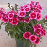 China Pink Plant Habit Growth