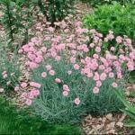 Grass Pink