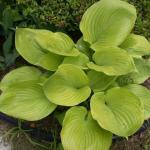 Sun and Substance Hybrid Hosta