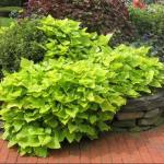 Ornamental Sweet Potato Vine
