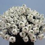 Sweet Alyssum Plant Habit Growth