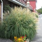 Eulalia Grass