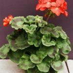 Zonal Geranium Plant Habit Growth