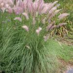 Annual Fountain Grass