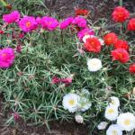 Rose Moss Plant Habit Growth