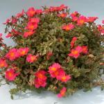 Ornamental Purslane Plant Habit Growth