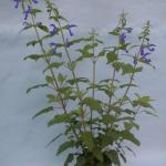 Gentian Sage Plant Habit Growth