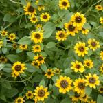 Creeping Zinnia Plant Habit Growth