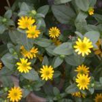 Creeping Zinnia Plant Habit Growth