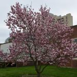 Magnolia x soulangiana form