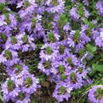 Fan Flower Plant Habit Growth