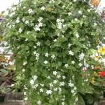 Bacopa Plant Habit Growth