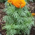 American Marigold Plant Habit Growth