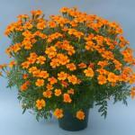 Signet Marigold Plant Habit Growth
