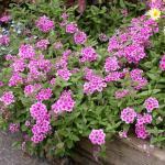 Garden Verbena Plant Habit