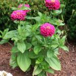 Common Zinnia Plant