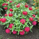 Pinwheel Zinnia Plant