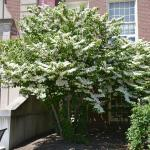 Doublefile viburnum branched up into tree form