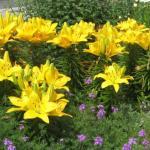 Garden Lily Landscape