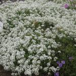 Sweet Alyssum Landscape Uses