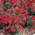 Flowering Tobacco Landscape Uses
