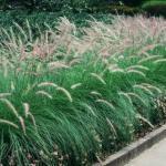Annual Fountain Grass Landscape