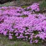 Moss Phlox Landscape