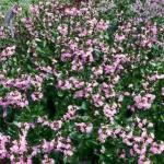 Fan Flower Landscape Uses