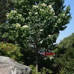 Syringa reticulata in landscape