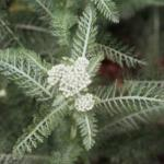 Common Yarrow Leaves