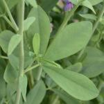 False Indigo Leaves