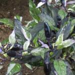 Ornamental Pepper Leaves