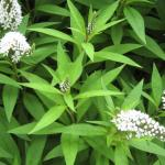 Gooseneck Loosestrife Leaves