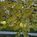 Cercis canadensis fall color