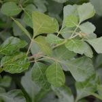 Rhus aromatica leaves