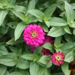Pinwheel Zinnia Leaves