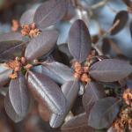 PJM Rhododendron winter leaf color