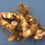 Canna Lily rhizomes