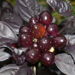 Ornamental Pepper Black Pearl