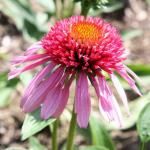 Purple Coneflower 'Bubblegum'