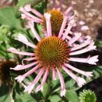 Purple Coneflower 'Quills and Thrills'