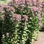 Joe-Pye Weed 'Little Joe'