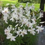 Garden Lily 'Casa Blanca'