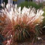 Eulalia Grass 'Flame Grass'