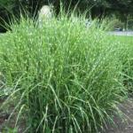 Eulalia Grass 'Zebrinus'